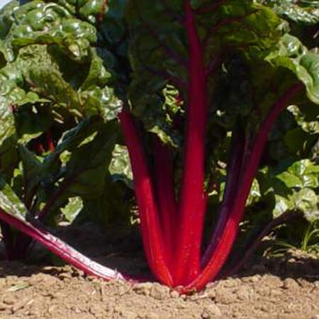 Ruby Red, Swiss Chard Seeds - Packet image number null