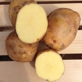 Yukon Gold, Seed Potatoes