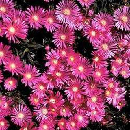 Table Mountain, Delosperma Seeds image number null
