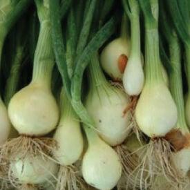 Nebuka Evergreen Bunching, Onion Seeds