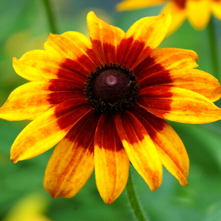 Gloriosa, Daisy Seeds - Packet image number null