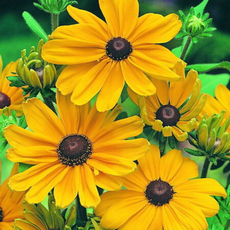 Indian Summer, Rudbeckia Seeds - Packet image number null