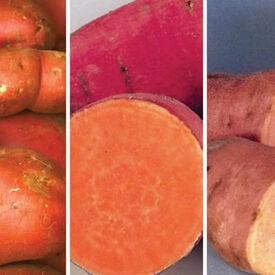 Sweet Potato Mix, Potato Slips