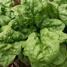 Bloomsdale, Organic Spinach Seeds