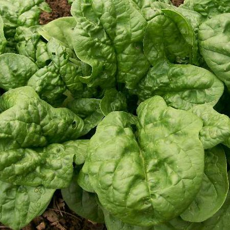 Bloomsdale, Organic Spinach Seeds - Packet image number null