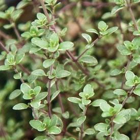 Vulgaris, Thyme Seed