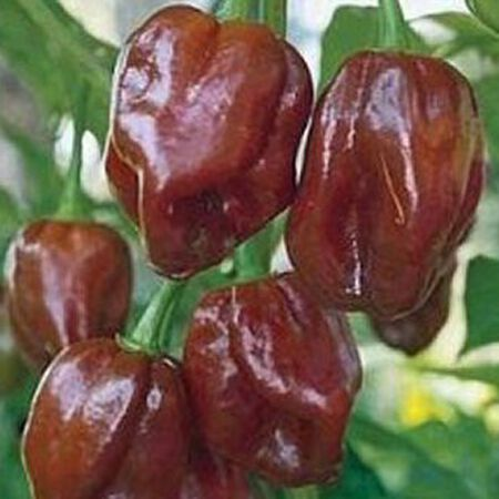 Chocolate Habanero, Pepper Seeds - Packet image number null