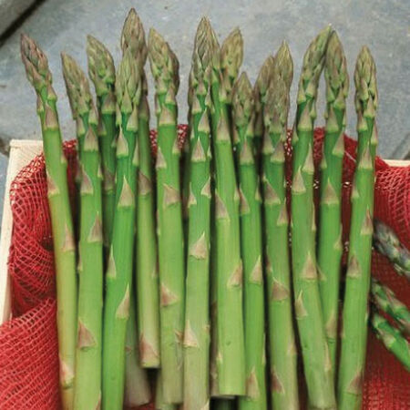 Jersey Giant, Asparagus Roots - 10 Crowns image number null