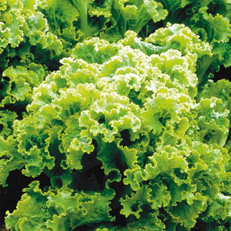 Green Ice, Lettuce Seeds - Packet image number null