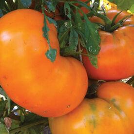 Yellow Brandywine, Tomato Seeds