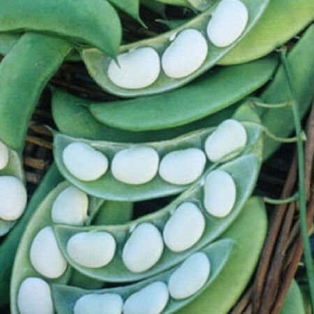 Burpee Improved Bush Lima, Bean Seeds - Packet (1 oz.) image number null