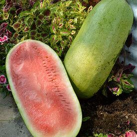 Regency, (F1) Watermelon Seeds