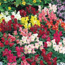 Floral Showers, Snapdragon Seeds