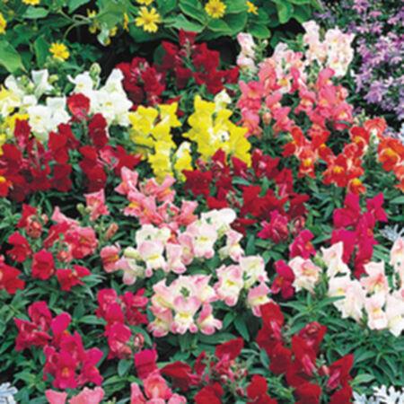 Floral Showers, Snapdragon Seeds - Packet image number null