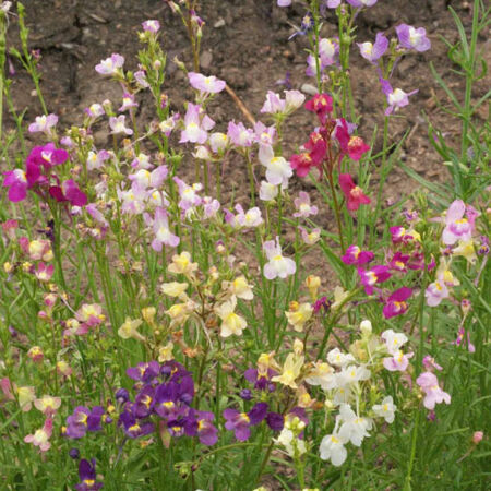 Tall Mix, Snapdragon Seeds - Packet image number null