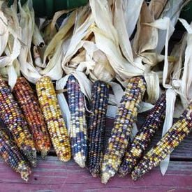 Ornamental Large Ear, Corn Seed
