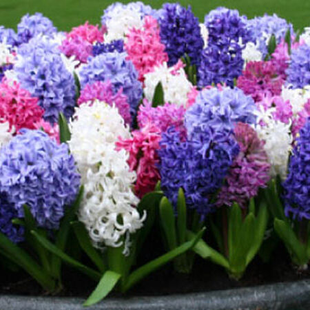 Color Mix, Hyacinth Bulbs image number null