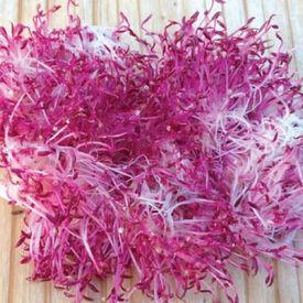 Red Garnet Amaranth, Sprouts