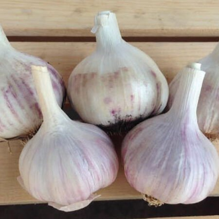 Spanish Roja, Garlic image number null