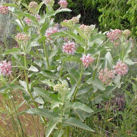 Showy, Asclepias (Butterfly Weed)