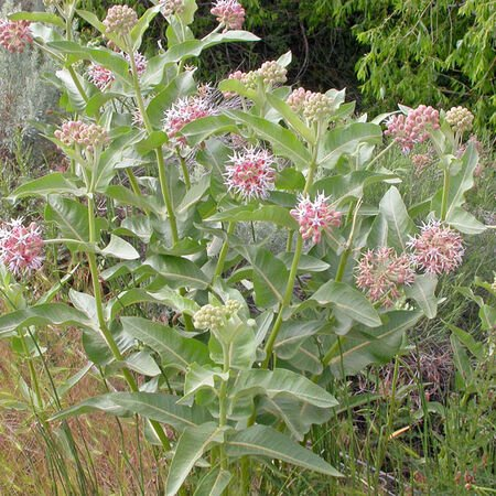 Showy, Asclepias (Butterfly Weed) - Packet image number null