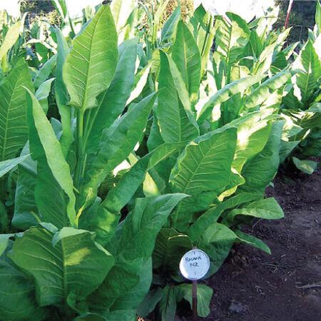 Havana 142, Tobacco Seed - Packet image number null