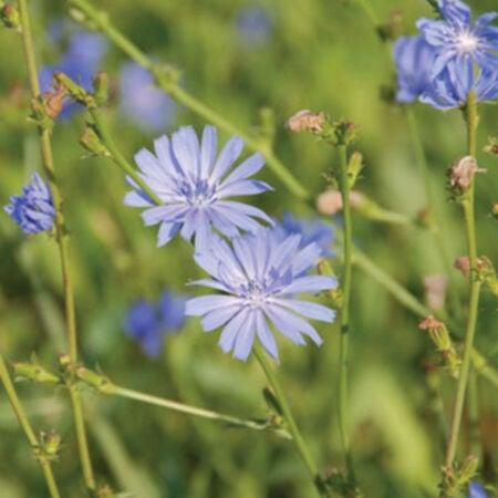 Forage Chicory, Broadleaf - 1 Pound image number null