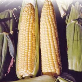 Buttergold, (F1) Corn Seed