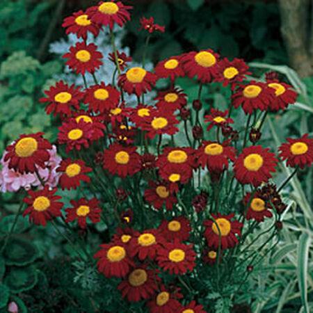 Robinson's Crimson, Pyrethrum Seeds image number null
