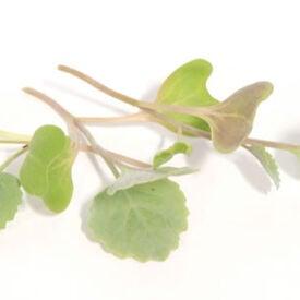 Georgia Southern Collard, Microgreen Seeds