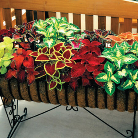Wizard Mix, Coleus Seeds - Packet image number null