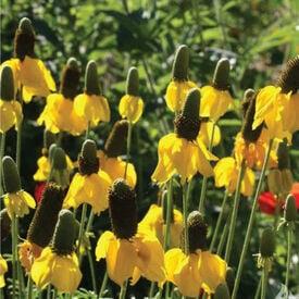 Prairie Coneflower, Ratibida Seeds