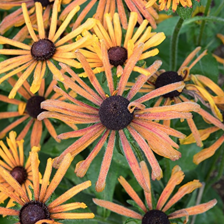 Chim Chiminee, Rudbeckia Seeds image number null