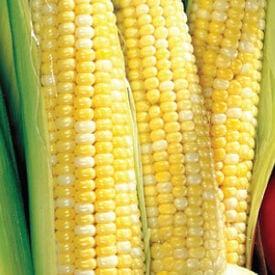 Ambrosia, (F1) Corn Seed