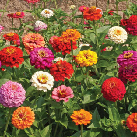 Cut and Come Again, Zinnia Seeds - Packet image number null