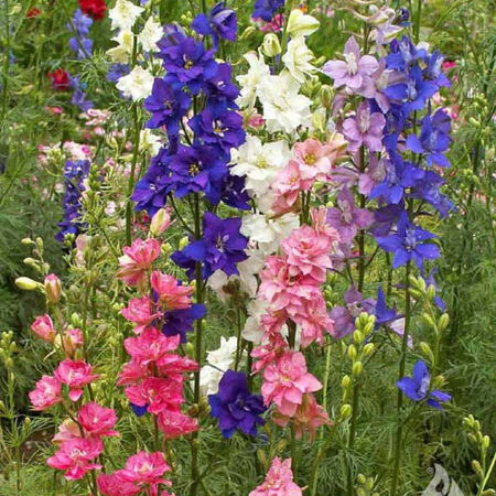Imperial Mix, Delphinium Seeds - Packet image number null