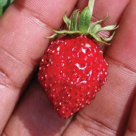 Reine des Vallees, Strawberry Seeds