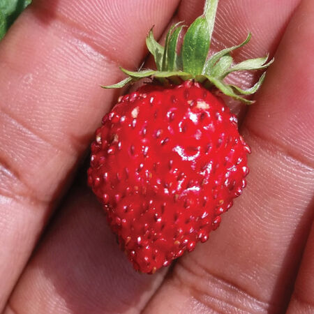 Reine des Vallees, Strawberry Seeds - 100 Seeds image number null