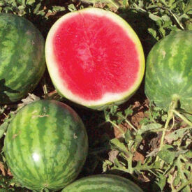 Little Trip Seedless, (F1) Watermelon Seeds