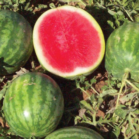 Little Trip Seedless, Watermelon Seeds - Packet image number null