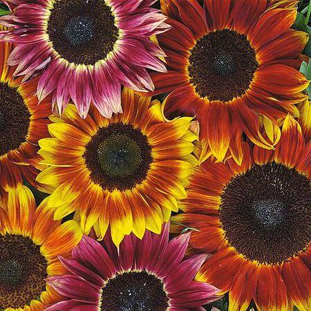 Harlequin, Sunflower Seeds image number null