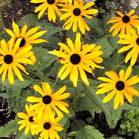Black Eyed Susan, Rudbeckia Seeds - Packet image number null