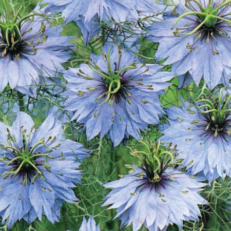 Love in a Mist, Nigella Seeds image number null