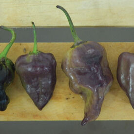 Purple Bhut Jolokia, Pepper Seeds