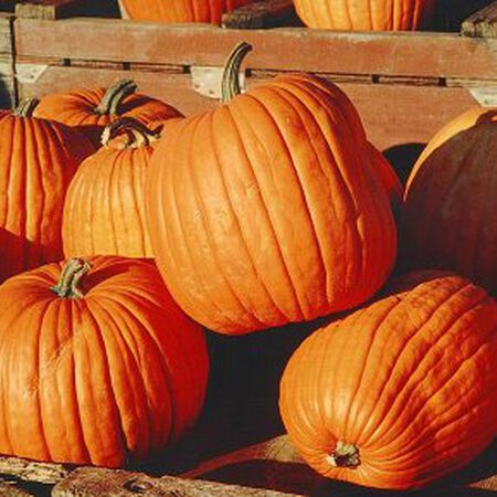 Halloween, Pumpkin Seeds - Packet image number null