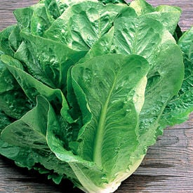 Green Towers, Lettuce Seeds