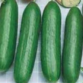Burpless Bush Slicer, (F1) Cucumber Seeds