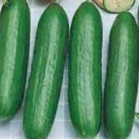 Burpless Bush Slicer, (F1) Cucumber Seeds