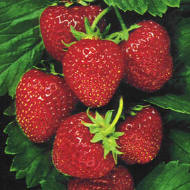 Temptation, Strawberry Seeds