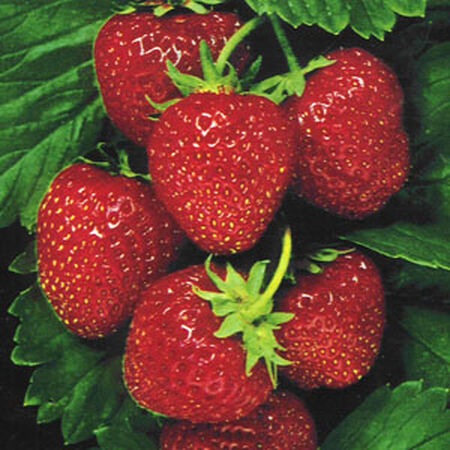 Temptation, Strawberry Seeds image number null